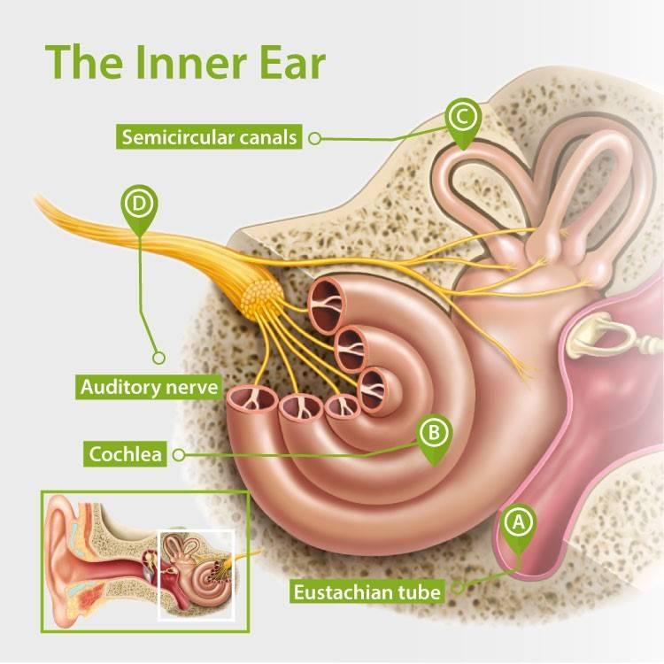 the-inner-ear